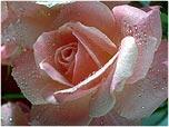 lex_rose1
